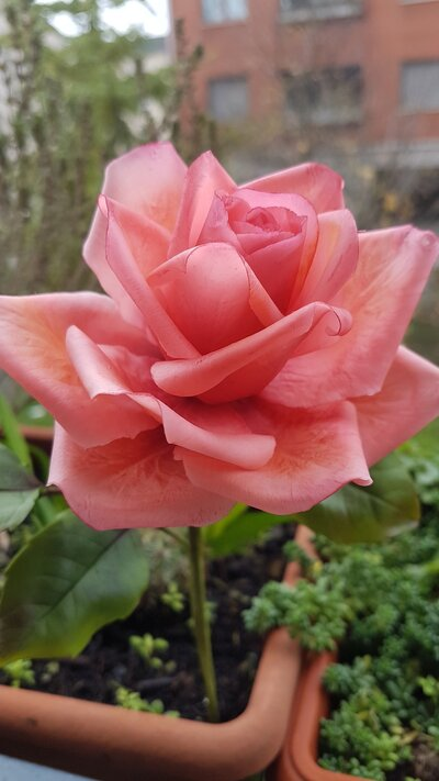 Rose in porcellana fredda