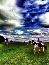 Cow in Avebury