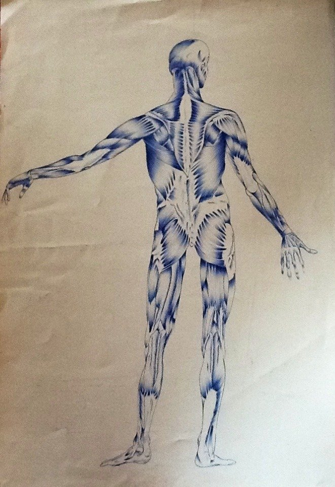 Muscoli corpo umano maschile