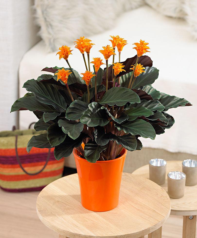 Calathea crocata -Pianta-