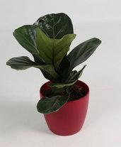 Ficus Lirata - Pianta d'Appartamento.