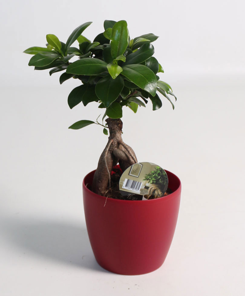 Ficus microcarpa Ginseng - Pianta-