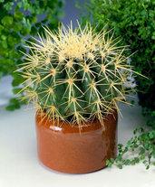 Cuscino della Suocera - Echinocactus- Pianta