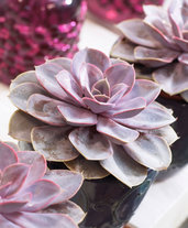 Echeveria Purple Pearl - Pianta-