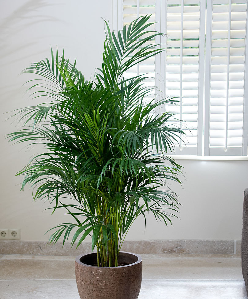 Palma areca pianta per la casa e per te esterno - Plantas de interior altas ...