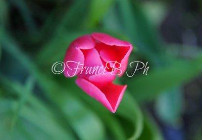 Bocciolo di Tulipano rosa
