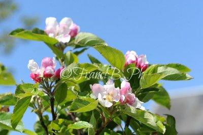 Melo in fiore JPG