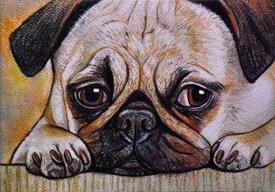 Ritratto cane carlino pastelli su cartoncino