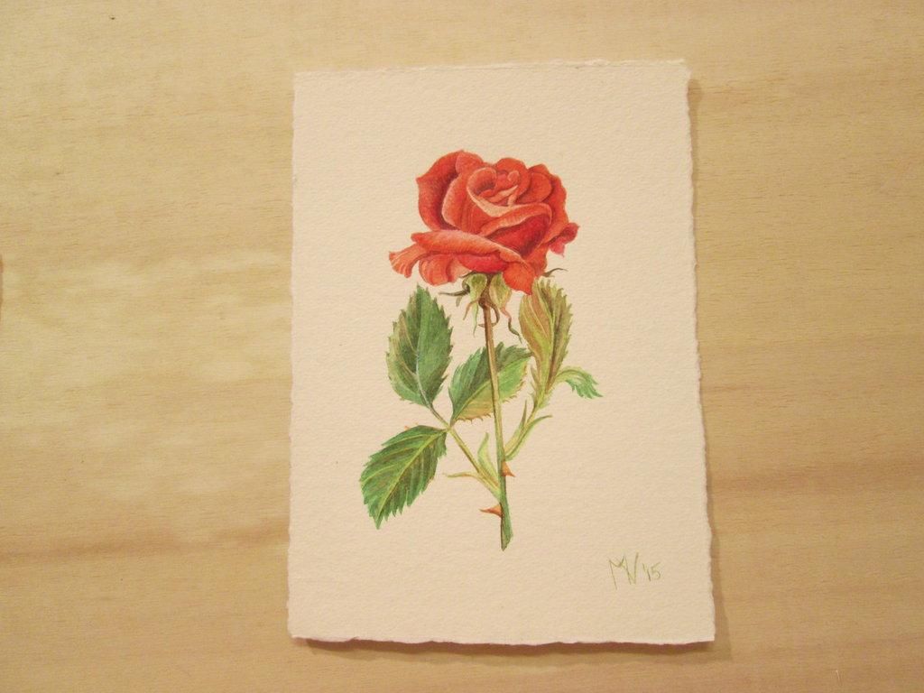Acquerello su carta - Rosa