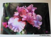 Iris - Stampa fotografia cm 25 x 38