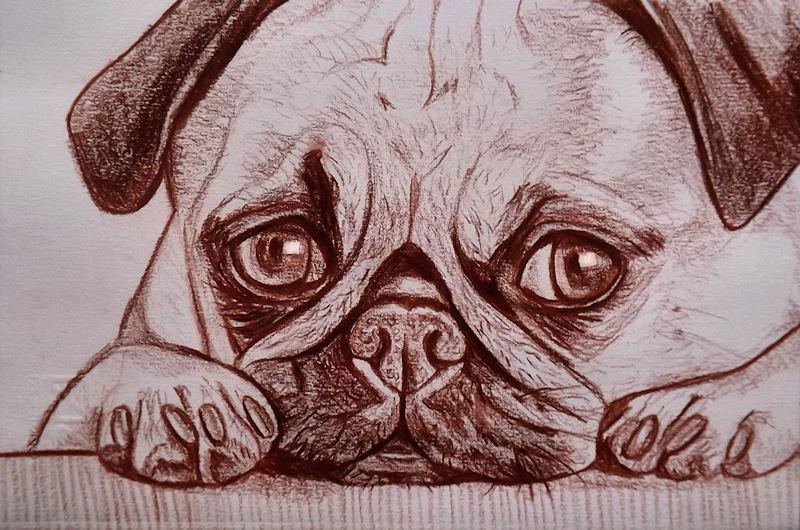 Disegno ritratto carlino matita sanguigna per la casa e for Disegni a matita di cani