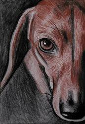 Ritratto cane bassotto matita sanguigna e carboncino